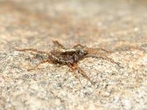 岩石蜘蛛 免版税库存照片