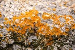 岩石表面上的干燥黄色青苔 库存图片