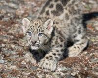 岩石表面上的雪豹小猫 免版税库存照片