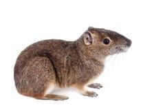 岩石豚鼠或moco, kerodon rupestris,在白色 免版税库存照片