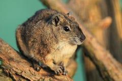 岩石豚鼠 库存照片