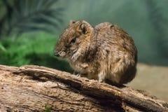 岩石豚鼠 库存图片