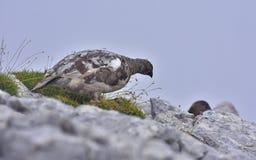 岩石雷鸟,雪鸡雷鸟属mutus 库存图片