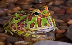 岩石青蛙的池塘 库存照片
