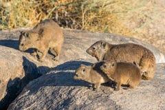 岩石非洲蹄兔或Dassie与年轻人 库存图片