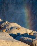 岩石非洲蹄兔或dassie 库存照片