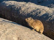 岩石非洲蹄兔或dassie 免版税库存图片