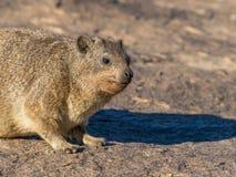 岩石非洲蹄兔或dassie 免版税图库摄影