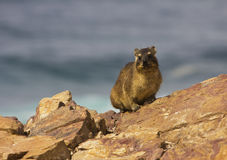 岩石非洲蹄兔或dassie 库存图片