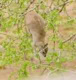 岩石非洲蹄兔特写镜头  免版税库存照片