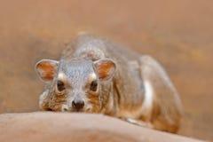 岩石非洲蹄兔,蹄兔属海角,南非 从非洲的罕见的有趣的哺乳动物 在石头的岩石Hyray在落矶山脉 野生生物 免版税图库摄影