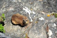 岩石非洲蹄兔 库存图片