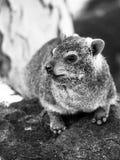 岩石非洲蹄兔、蹄兔属海角或者dassie,坐石头 黑白图象 免版税库存照片
