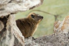岩石非洲蹄兔特写镜头  库存照片