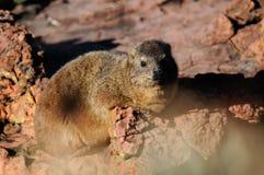 岩石非洲蹄兔,岩石dassie坐岩石, waterberg,纳米比亚 库存图片