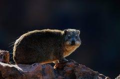 岩石非洲蹄兔,岩石dassie 免版税库存照片