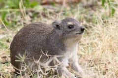 岩石非洲蹄兔,蹄兔属海角在坦桑尼亚 库存图片