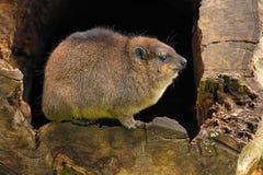 岩石非洲蹄兔,蹄兔属海角,南非 库存图片
