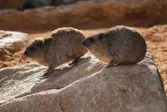 岩石非洲蹄兔-蹄兔属海角 免版税库存照片