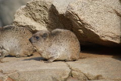 岩石非洲蹄兔-蹄兔属海角 免版税图库摄影