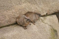 岩石非洲蹄兔-蹄兔属海角 免版税库存图片