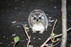 岩石非洲蹄兔 库存照片