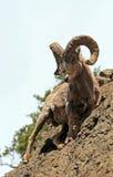 岩石面孔峭壁的大角野绵羊Ram在黄石国家公园在怀俄明 库存照片