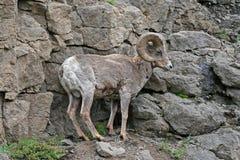 岩石面孔峭壁的大角野绵羊Ram在黄石国家公园在怀俄明 免版税图库摄影