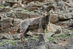 岩石面孔峭壁的大角野绵羊Ram在黄石国家公园在怀俄明 免版税库存照片