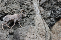 岩石面孔峭壁的大角野绵羊Ram在黄石国家公园在怀俄明 免版税库存图片