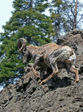 岩石面孔峭壁的大角野绵羊Ram在黄石国家公园在怀俄明 图库摄影