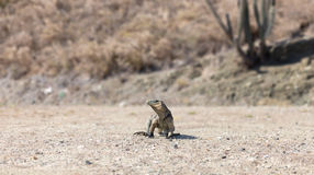 岩石鬣鳞蜥在它的自然生态环境 免版税库存图片