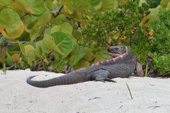 岩石鬣鳞蜥 免版税图库摄影