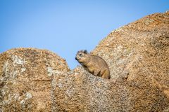 岩石dassie坐岩石 图库摄影