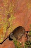 岩石dassie,岩石非洲蹄兔 免版税库存照片