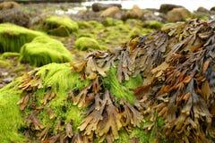岸海藻 免版税库存照片