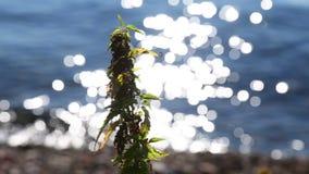 岸的野生荨麻植物与水强光 股票视频