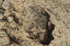 峡谷雨蛙 免版税库存照片