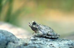 峡谷treefrog雨蛙arenicolor坐石头 库存图片