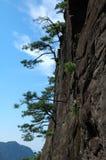 峭壁杉木 免版税库存图片