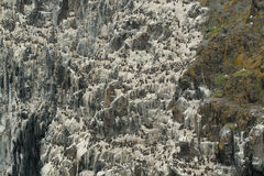 峭壁殖民地海雀科的鸟 免版税库存图片