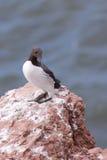 峭壁海雀科的鸟 库存照片