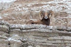 峭壁的大角野绵羊Ram在冬天在恶地国家公园 免版税库存照片
