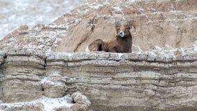 峭壁的大角野绵羊Ram在冬天在恶地国家公园 库存图片