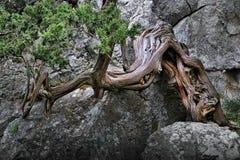 峭壁结构树 免版税库存图片