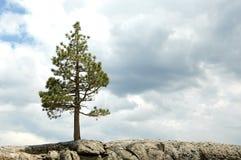 峭壁结构树 库存照片
