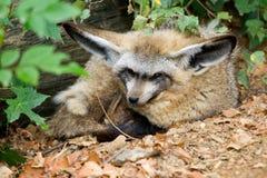 崽有鬃毛的狼 免版税库存图片