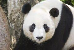 崽熊猫 库存图片