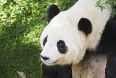 崽熊猫 库存照片