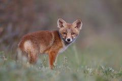 崽狐狸红色 免版税图库摄影